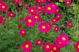 Tanacetum coccineum 'Robinsons Rot', Gartenmargerite - Bild vergrößern