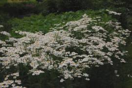 Tanacetum corymbosum, Strauß - Margerite - Bild vergrößern