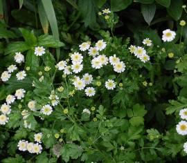 Tanacetum parthenium 'Flore Pleno', Mutterkraut - Bild vergrößern