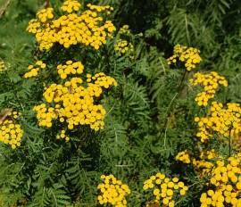 Tanacetum vulgare, Rainfarn - Bild vergrößern