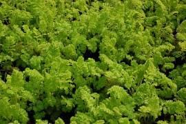Tanacetum vulgare 'Golden Fleece', Rainfarn - Bild vergrößern