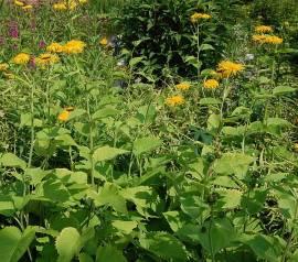 Telekia speciosa, Großblumige Scheinaster - Bild vergrößern