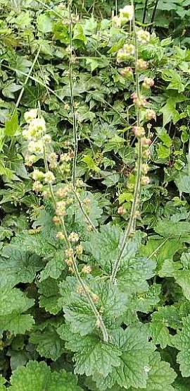 Tellima grandiflora, Falsche Alraune - Bild vergrößern