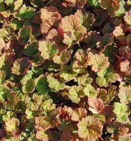 Tellima grandiflora 'Purpurteppich', Falsche Alraunenwurzel - Bild vergrößern