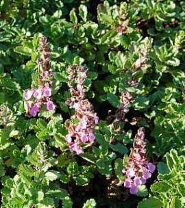 Teucrium chamaedrys, echter Gamander - Bild vergrößern