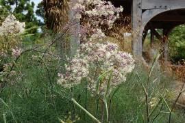 Thalictrum Hybride 'Elin',  Wiesenraute - Bild vergrößern