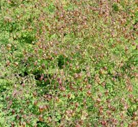 Thalictrum alpinum, Alpen -  Wiesenraute - Bild vergrößern