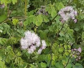Thalictrum aquilegifolium Wiesenraute - Bild vergrößern
