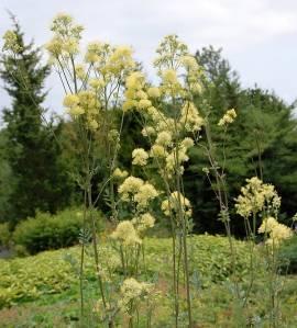 Thalictrum flavum ssp. glaucum, Wiesenraute - Bild vergrößern