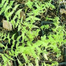 Thelypteris palustris Sumpffarn - Bild vergrößern