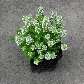 Thymus serpyllum 'Schneewolke' Teppichthymian - Bild vergrößern