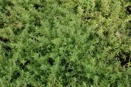 Thymus Hybride 'Duftkissen' Teppichthymian - Bild vergrößern