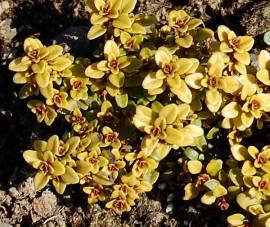 Thymus x citriodorus 'Archer's Gold', Zitronenthymian - Bild vergrößern