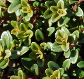 Thymus x citriodorus 'Aureus', Zitronenthymian - Bild vergrößern