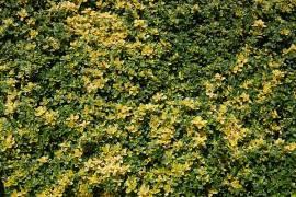 Teppichthymian, Thymus comosus 'Doone Valley' - Bild vergrößern