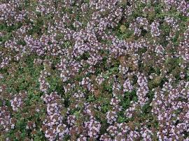 Thymus herba-barona var. citriodora, zitroniger Kümmelthymian - Bild vergrößern