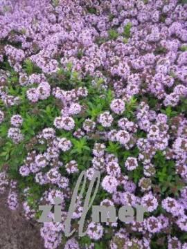 Thymus longicaulis, Kaskadenthymian - Bild vergrößern