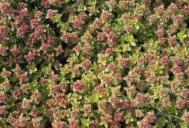 Thymus hybride 'Hall's Variety' Teppichthymian - Bild vergrößern
