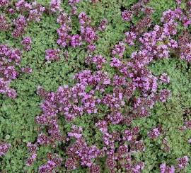 Teppichthymian, Wollthymian, Thymus praecox var. pseudolanuginosus - Bild vergrößern