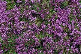 Teppichthymian, Thymus doerfleri 'Bressingham Seedling' - Bild vergrößern