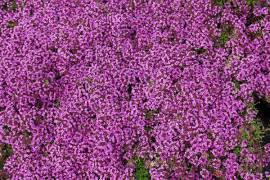 Thymus serpyllum 'Coccineus' Teppichthymian - Bild vergrößern