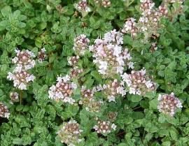 Teppichthymian, Thymus Hybride 'Pink Chintz'  - Bild vergrößern