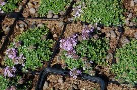 Thymus Hybride 'Rasta', Teppichthymian - Bild vergrößern