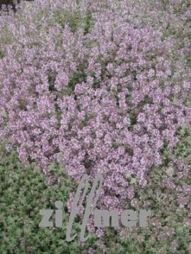 Thymus vulgaris 'Silverposie' Silbertymian - Bild vergrößern