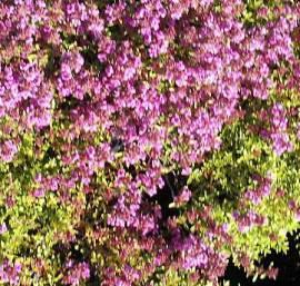 Thymus serpyllum 'Purple Beauty' Teppichthymian - Bild vergrößern