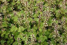 Schaumblüte, Tiarella polyphylla 'Filigran' - Bild vergrößern