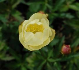 Trollius Europaeus-Hybride 'Alabaster', Trollblume - Bild vergrößern