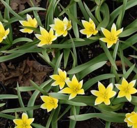 Wildtulpen, Tulipa tarda dasystemon, Sterntulpen - Bild vergrößern