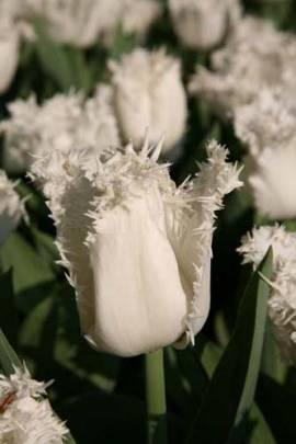 Crispa Tulpen 'Honeymoon' - Bild vergrößern