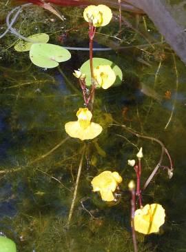 Utricularia vulgaris, Wasserschlauch - Bild vergrößern