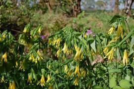Uvularia grandiflora Goldsiegel - Bild vergrößern