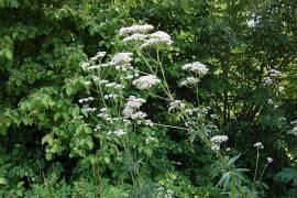Baldrian, Valeriana  officinalis - Bild vergrößern