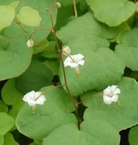 Vancouveria hexandra Schein- Elfenblume, weiß - Bild vergrößern