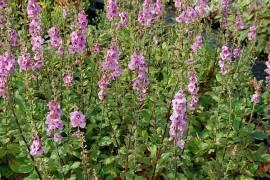 Verbascum x Hybride 'Pink Domino', Königskerze - Bild vergrößern