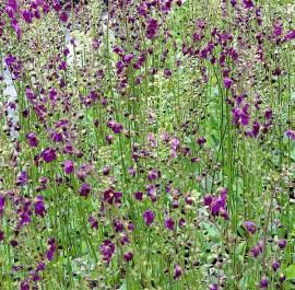 Verbascum phoenicum 'Violetta', Königskerze - Bild vergrößern
