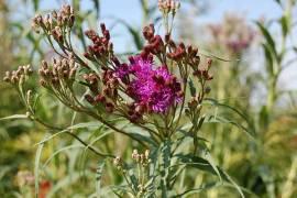 Vernonia fasciculata, Arkansas-Scheinaster, Veronie - Bild vergrößern