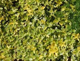 Immergrün, Vinca minor 'Aureovariegata' - Bild vergrößern
