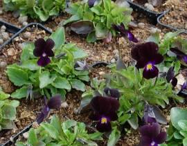 Viola cornuta 'Bowles Black' Hornveilchen - Bild vergrößern