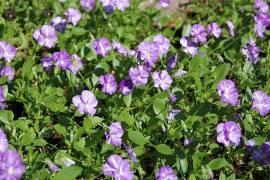 Viola cornuta 'Columbine' Hornveilchen - Bild vergrößern
