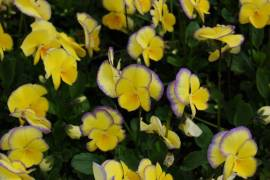 Hornveilchen, Viola cornuta 'Etain' - Bild vergrößern