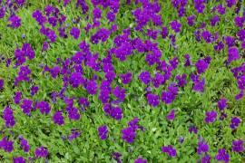 Viola cornuta 'Hansa' Hornveilchen - Bild vergrößern