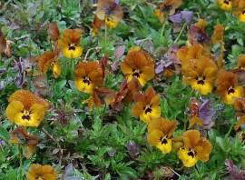 Viola cornuta 'Irish Molly' Hornveilchen - Bild vergrößern