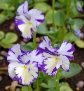 Viola cornuta 'Rebecca Cawthorne' Hornveilchen - Bild vergrößern