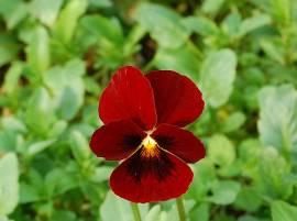 Viola cornuta 'Rubin' Hornveilchen - Bild vergrößern