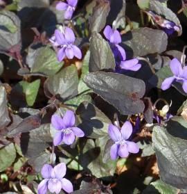 Labradorveilchen, Viola labradorica - Bild vergrößern