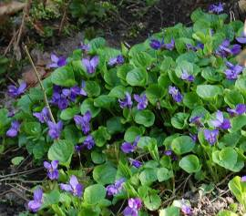 Viola odorata Duftveilchen - Bild vergrößern